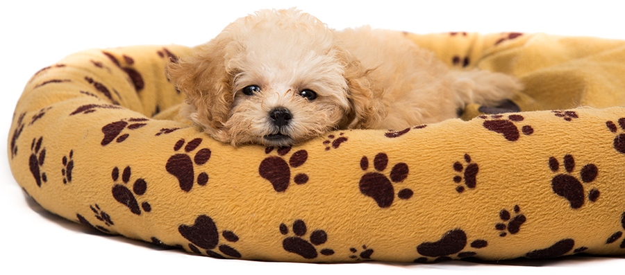 mini toy puppy laying in a bed